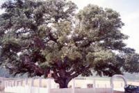 mt tabor oak